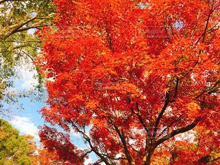 公園,紅葉,木,東京,赤,もみじ,国営昭和記念公園,彩り,秋を楽しむ,写真を楽しむ