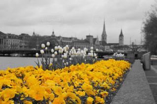 花,春,黄色,旅行,スイス,イエロー,海外旅行,湖畔,チューリヒ