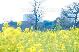 花,春,東京,黄色,菜の花,イエロー,菜の花畑,浜離宮