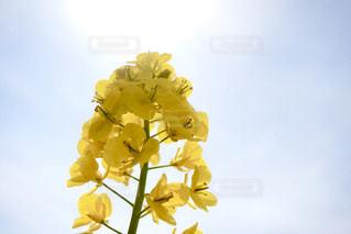 空,花,春,東京,散歩,黄色,菜の花,イエロー,菜の花畑,yellow,浜離宮恩賜庭園