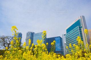 空,花,春,東京,散歩,黄色,菜の花,イエロー,菜の花畑,浜離宮,yellow,浜離宮恩賜庭園