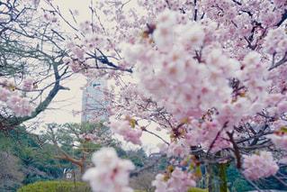 春,桜,ピンク,散歩,花見,お花見,ピクニック,日本,日本庭園,新宿御苑