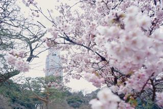 春,桜,東京,ピンク,散歩,花見,お花見,日本,日本庭園,新宿御苑,3月