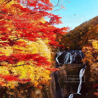 滝,紅茶,茨城,袋田の滝