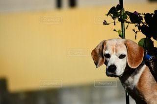 犬の写真・画像素材[30143]