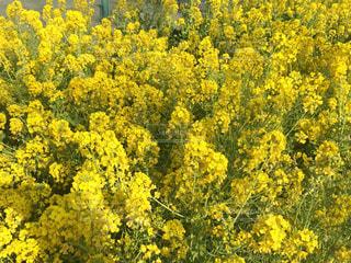 自然,花,春,屋外,散歩,黄色,菜の花,幸せ,草木