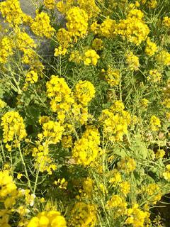 花,春,散歩,菜の花,景色,幸せ,草木