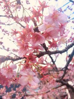 花,桜,ピンク,綺麗,樹木,お花見