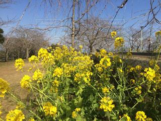 公園,花,黄色,菜の花,景色
