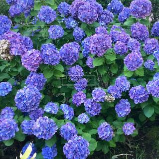 紫陽花の季節の写真・画像素材[2022489]