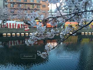 花見の桜の写真・画像素材[2030474]