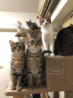 鏡の前に座っている、黒灰色と白猫の写真・画像素材[1026170]