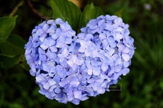 ハート型の紫陽花の写真・画像素材[1885938]