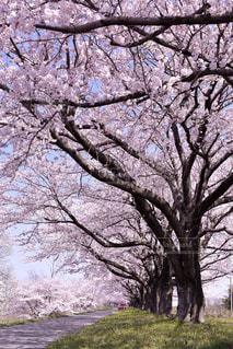 桜並木の写真・画像素材[2054289]