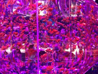 ピンク色の水槽、ピンク金魚、美しい!の写真・画像素材[1798178]