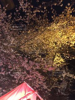 桜,夜桜,お花見,桜色