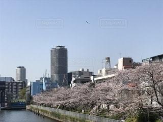 桜,花見,お花見,都会,桜色,清澄白河