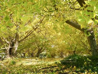 いちょう並木の写真・画像素材[1629346]