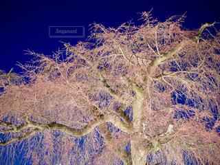 八坂神社の桜の写真・画像素材[1667161]