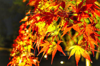 京都の紅葉ライトアップの写真・画像素材[1666204]