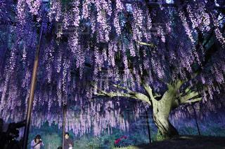 藤の花の写真・画像素材[1680695]