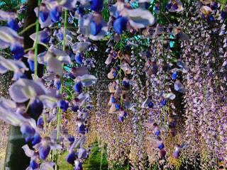 藤の花の写真・画像素材[1680730]