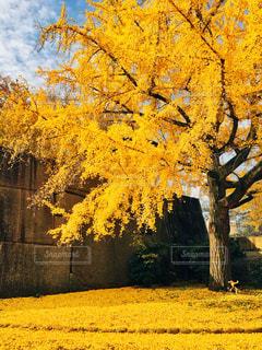 木,屋外,黄色,景色,鮮やか,イチョウ,銀杏,日中,黄葉