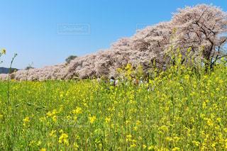 フィールド内の黄色の花の写真・画像素材[1832823]