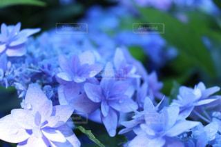花,植物,あじさい,水滴,葉,紫陽花,水玉,雫,しずく,雨粒,草木