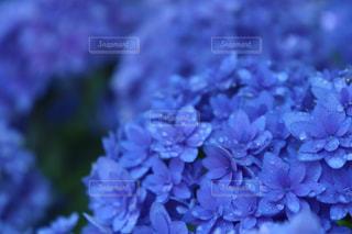 花,植物,あじさい,水,水滴,紫陽花,水玉,雫,しずく,雨粒,草木