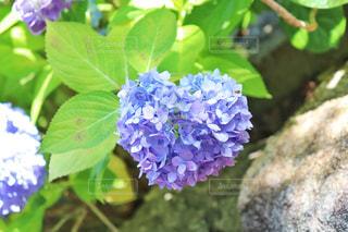自然,風景,花,かわいい,葉,ハート,紫陽花,マーク