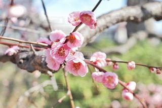 木の枝に咲くピンクの梅の写真・画像素材[3018024]