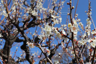 梅の花の写真・画像素材[3019157]