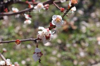 梅の花の写真・画像素材[3019159]