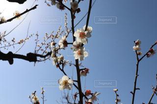 梅の花の写真・画像素材[3019160]
