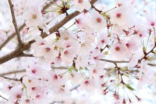 晴れの日の桜の写真・画像素材[3080144]