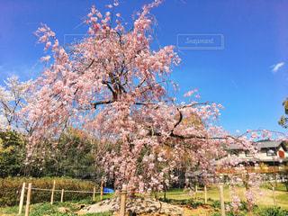 しだれ桜の写真・画像素材[3080146]