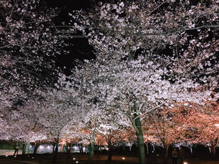 夜桜の写真・画像素材[3080148]