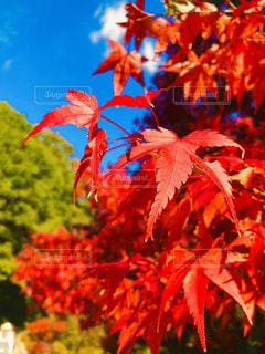 紅葉と青空の写真・画像素材[1629417]