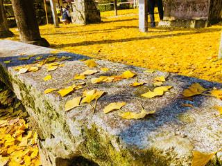 黄色い絨毯の写真・画像素材[1631452]