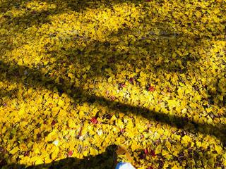 今高野山龍華寺のイチョウ(黄色い絨毯)の写真・画像素材[1634900]