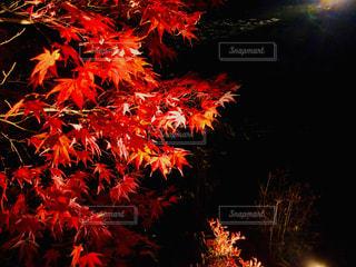 神勝寺の紅葉ライトアップ特別拝観🍁の写真・画像素材[1647954]