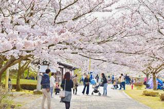 春,桜,後ろ姿,人,後姿,広島,後ろ,広島県,竹原,竹原市,バンブージョイハイランド
