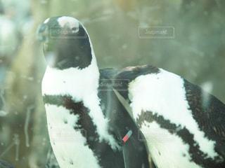 近くにペンギンのアップの写真・画像素材[1631536]