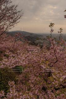 春,桜,きれい,夕暮れ,夕方,花見,観光,暖かい,レジャー,河津桜,3月,神奈川県,さくら,松田町,西平畑公園