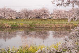 春の蓮田の写真・画像素材[1995667]