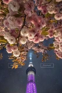 牡丹桜と星空と東京スカイツリーの写真・画像素材[2140759]