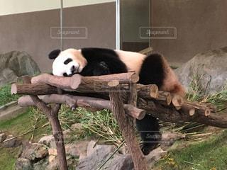 パンダの写真・画像素材[679402]