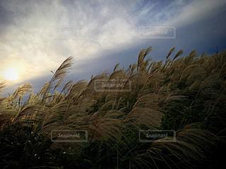 ススキの写真・画像素材[780325]