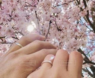 さくらと桜の間から…♡の写真・画像素材[2676881]